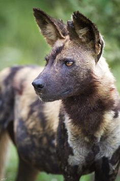 thepredatorblog:  African Wild Dog (by Matt Bango)  Often looks to me like a Hyena, but not even related.