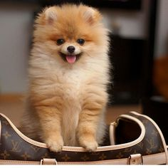 So cute - Cute Pomeranian Puppy Cute Little Animals, Cute Funny Animals, Cute Dogs And Puppies, Baby Dogs, Doggies, Cute Pomeranian, Pomeranian Haircut, Animals Beautiful, Animals And Pets