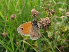 Butterfly | Maniola jurtina