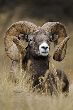 Montana Monarch | One of the largest Bighorn Rams I have ever come across. Montana grows 'em big! | by David Irwin