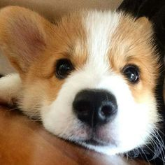 This pretty corgi puppy will warm your heart. Dogs are incredible friends. Cute Corgi Puppy, Corgi Dog, Cute Dogs And Puppies, Baby Puppies, Baby Dogs, I Love Dogs, Corgi Funny, Teacup Puppies, Cute Little Animals