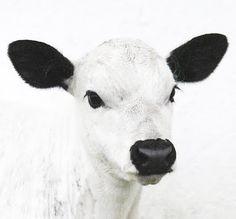 #blackandwhite #cow