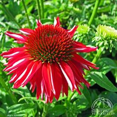 Salsa Red - A new series of Coneflower bred to produce well-branched, sturdy and compact plants featuring a high bud count. This selection produces very large, single flowers with bright red overlapping petals surrounding a large brown cone.