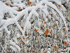 https://flic.kr/p/H6hJoX | November snow / Novemberi hó | branches,  faágak , havazás , hó,  november , schnee, snow,  tree  ,äste,