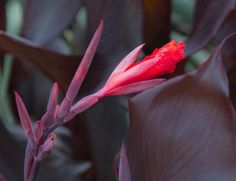 Time for the holiday Canna clean up. Remove tattered leaves and unsightly stems.