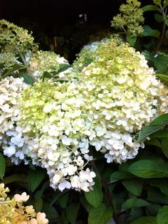 Exciting new plants you can buy now: Hydrangea Paniculata 'Bobo'. Price: £15.95. From: www.coblands.co.uk