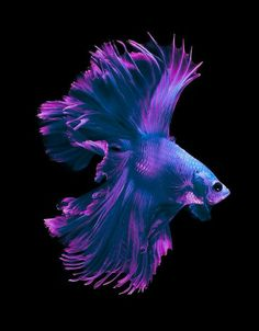White And Blue Siamese Fighting Fish, Betta Fish Isolated On Bla Stock Image - Image of fire, blue: 52133881 Pretty Fish, Beautiful Fish, Animals Beautiful, Beautiful Pictures, Colorful Fish, Tropical Fish, Poisson Combatant, Betta Fish Types, Carpe Koi