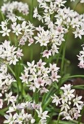 Allium 'Cameleon' - true to its name, this unusual variety produces flowers that change from dark rose to white with rose veins as they age Moon Garden, Bulb Flowers, White Gardens, Allium, Trees And Shrubs, Back Gardens, Flower Seeds, Garden Supplies, Summer Flowers