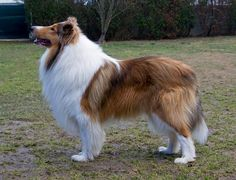 Rough Collie Van-M Merlin