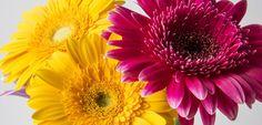 Barberton Daisy Travel News, Africa Travel, Cape Town, South Africa, Daisy, Plants, Blog, Honey, Margarita Flower