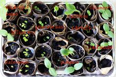 Starting seedlings indoors is a great way to get the most out of your garden season. Shaina Olmanson of Food for My Family recycles containers and gets her kids involved in the seed starting project. Shaina offers tips for nourishing the seedlings from seed to garden. || @foodformyfamily