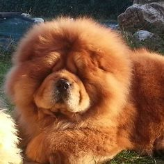 red beauty - I could have a dog that matches my hair!