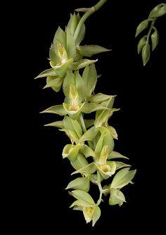 Catasetum complanatum x osculatum | JuanFGomez | Flickr