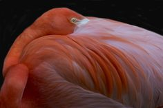 Flamingo photo by Robert Clark Advertising Photography, Editorial Photography, Animal Photography, Nature Photography, Structural Color, Greater Flamingo, Flamingo Photo, Natural Selection, Second Hand