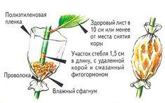 """Воздушные отводки""""  - применяют для размножения большого числа древесных культур. Этот способ чрезвычайно удобен, поскольку он не требует специального оборудования, а растения мало повреждаются. Об…"""