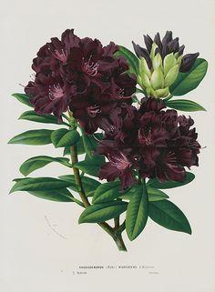 Fine Decorative Flower Prints by Van Houtte