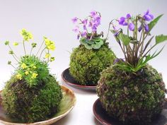 "Surprise your customers by presenting your plants ""Kokedama-style""; Japans most popular technique. Kokedama is a Japanese Bonsai-style and Japanese term for moss balls as well. Garden Terrarium, Garden Plants, House Plants, Terrariums, Succulent Planters, Succulents Garden, Ikebana, String Garden, Air Plants"
