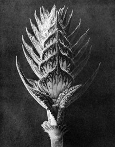 C-Large WL Photo Karl Blossfeldt