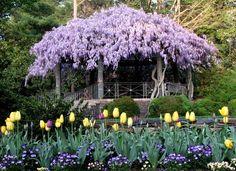 blauregen als sichtschutz pergola tulpen