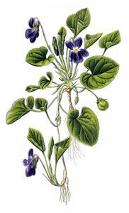 r hot, inflamed conditions of the skin. Simply chew up a fresh leaf and place it on the effected area. A remedy gentle enough for use with children, violet can also be used to soothe hot irritating coughs or headaches. At the time of this writing I am enjoying a cup of fresh violet leaf tea. It is lovely and has a soft green taste.  Violet seems to have a particular affinity for the breasts and lungs. It has long been used to shrink tumors and swellings. In Susan Weeds book Breast Cancer?…