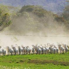 Bora levantar poeira e fazer dessa quinta-feira um novo e produtivo dia para a pecuária brasileira. (Fazenda Bodoquena)  Foto: Horácio Alves  #abcz #zebu #pmgz #pecuariabrasileira #zebunoinstagram #nelore #gadoPO