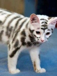 Like a skeleton, cool markings... Halloween kitten