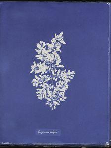 Sargassum vulgare - ID: 419633 - NYPL Digital Gallery