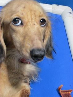 Meet Cage 26 July 9, a Petfinder adoptable Dachshund Dog | Greenville, TX | This sweet lady is an adult long hair dachshund mix. She is alert, calm and friendly.