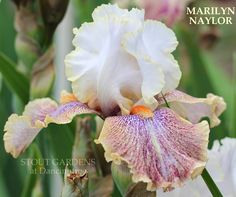 TB Iris germanica 'Marilyn Naylor' (Spoon, 2011)