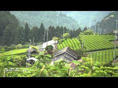 茶畑とウグイスの鳴き声 静岡県浜松市天竜区熊(くんま) 朝のすがすがしい風景