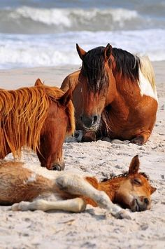 Chincoteague Ponies enjoying the Beach.  Chincoteague is an island off the coast of  Virginia. Assateague island is where the horses live wild. sometime in July there is a round up of the horses which are brought to Chincoteague. some then are sold so the island will not overpopulate.