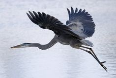 Great Blue Heron - I glimpse this bird at Peace Valley Park just as it is flying away. Startling but wonderful.