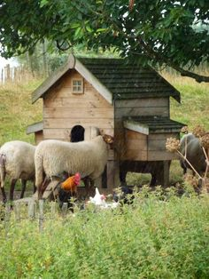 coop and sheep and rooster