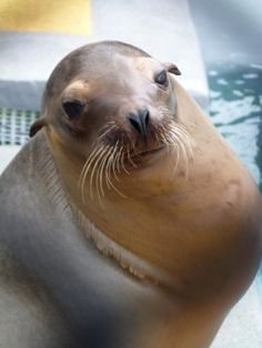 First brain scans of #sea# lions give clues to strandings. #Brain scans and behavioral tests of California sea lions that stranded on shore show how an algal toxin disrupts brain networks, leading to deficits in spatial memory.