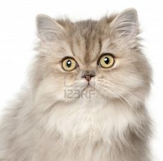 Google Image Result for http://us.123rf.com/400wm/400/400/isselee/isselee1112/isselee111200449/11612293-persian-cat-in-front-of-white-background.jpg