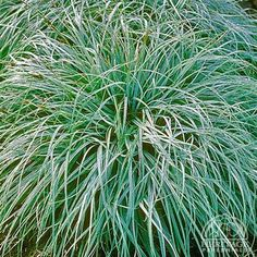 Carex flacca - acts as Egreen GC between other plantings
