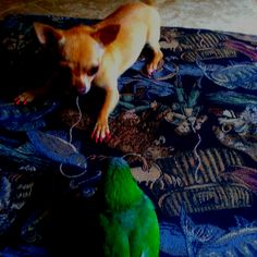 My chihuahua Miley aggravating my Quaker parrot Cosmo