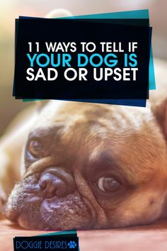 Is your dog seeming a little down lately? Here's 11 ways to tell if your dog is sad or upset >> http://doggiedesires.com/how-to-tell-if-your-dog-is-sad/