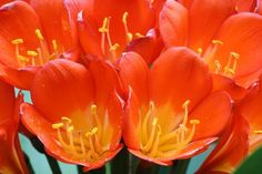 Picture of kaffir lily flowers – close up