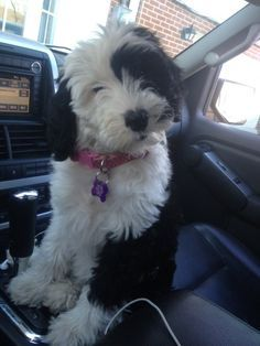 I grew up with Bobtails, but this Sheepadoodle is quite cute as well!