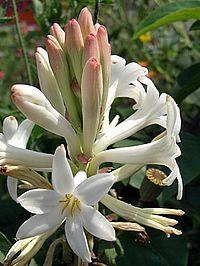 Polianthes tuberosa, Angélica-de-bastão, Angélica-dos-jardins, Jacinto-da-índia, Tuberosa