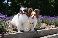 175 best papillion dog images on pinterest papillion dog little papillons solutioingenieria Images
