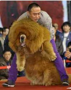 Good Caucasian Ovcharka Chubby Adorable Dog - 742adb238bc85c08f7f55e3e012d8838--most-expensive-dog-biggest-dog  Collection_719626  .jpg
