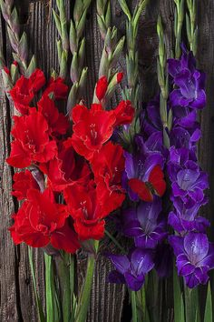Red and purple Gladiolus