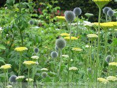 Echinops with Achillea | by Planting Designer - John Schoolmeesters