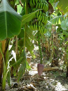 #magiaswiat #rejsponilu #podróż #wakacje #zwiedzanie # afryka #blog #świątynie #nil #rzeka #rejs #alabaster #wytwórnia #komombo #sobek #luxor #edfu #horus #plantacja #banany Plants, Blog, Blogging, Plant, Planets