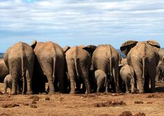 Addo Elephant National Park, Port Elizabeth, South Africa.
