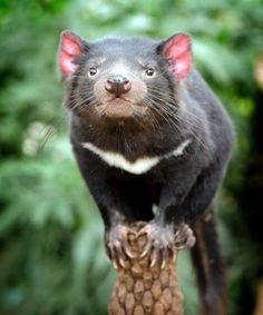 a marsupial once native to mainland Australia but now found only on the island of Tasmania.the largest marsupial in the world.an iconic symbol of Tasmania Animals Of The World, Animals And Pets, Baby Animals, Cute Animals, Vida Animal, Mundo Animal, Beautiful Creatures, Animals Beautiful, Regard Animal