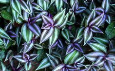 Tradescantia zebrina Pool Plants, Tropical Plants, View Image, River, Photos, Pictures, Rivers