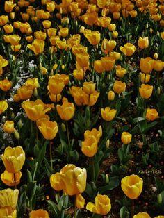 Campo de tulipas amarelas